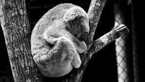 inner animal-koala-nature