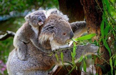koala-61189_640 mom